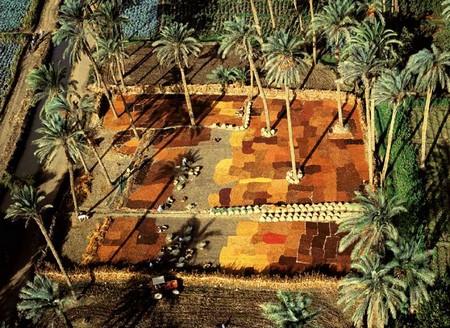 Egypte. Vallee du Nil. Sechage de dattes, palmeraie au sud du Caire.jpg